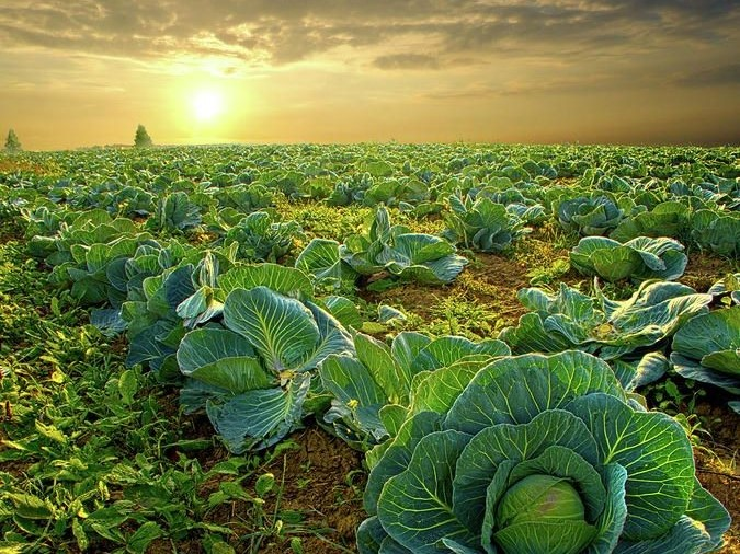 Why Should You Avoid Cabbage During Monsoons ?