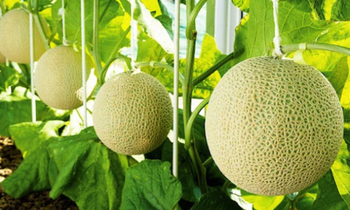 A Pair Of Japanese Melons Sold For $29,000